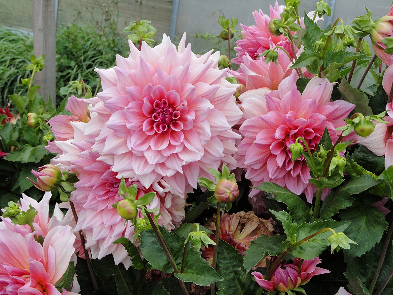 Hướng dẫn cách cắm hoa thược dược ngày tết;