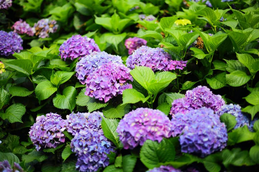 Mẹo hay đổi màu hoa cẩm tú cầu