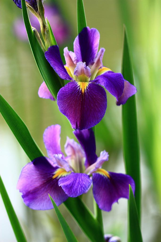 Khám phá hoa diên vĩ