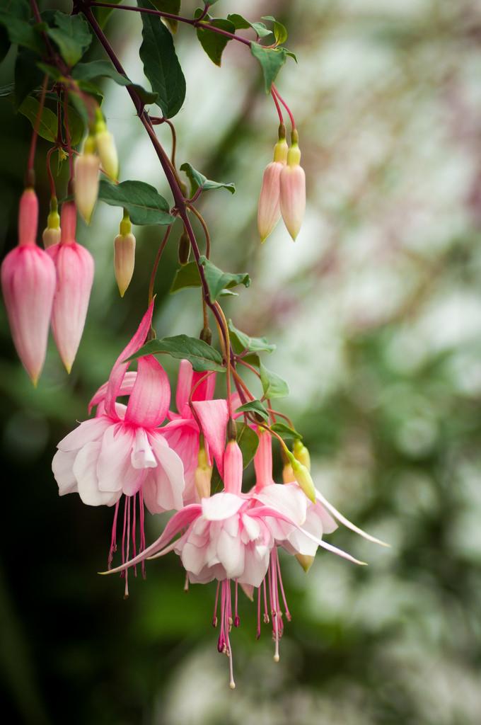 Học cách nhân giống hoa lồng đèn đẹp bung nở