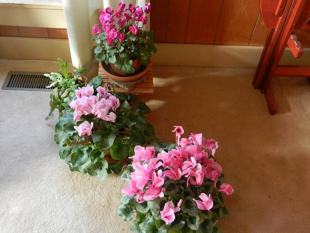 Học cách trồng hoa anh thảo