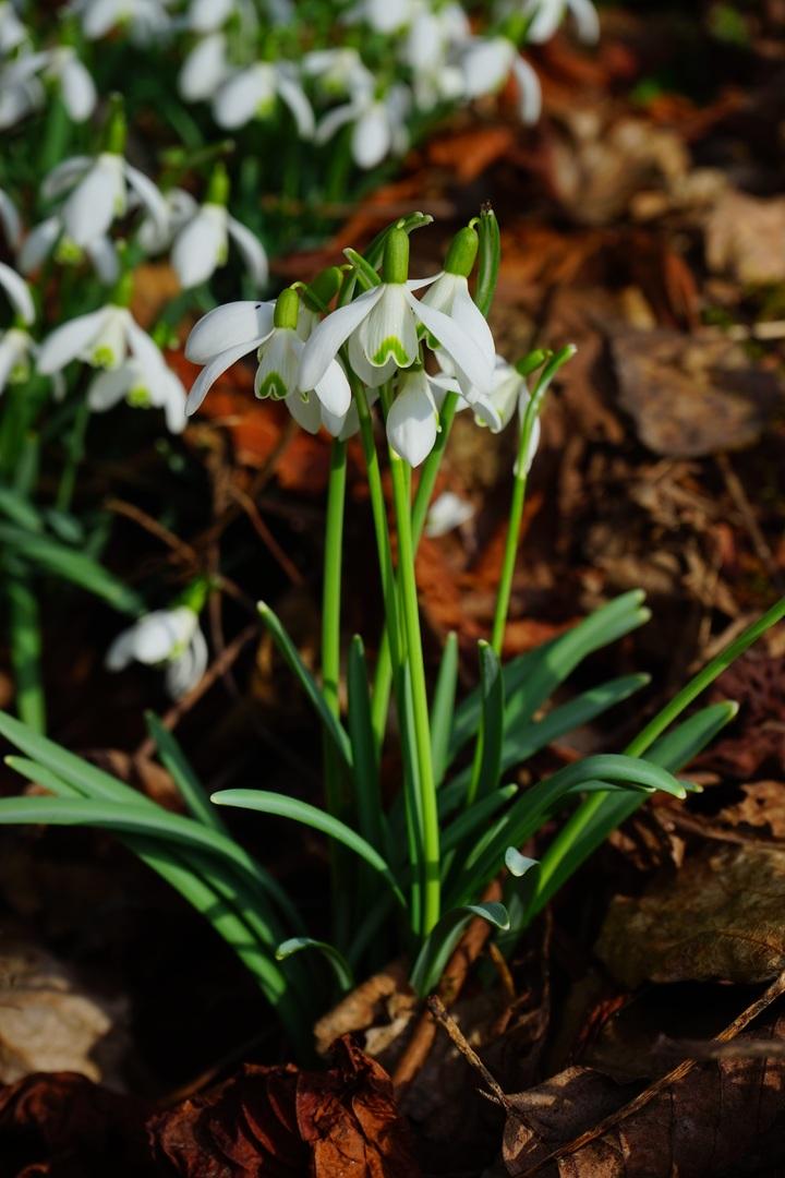 Hướng dẫn cách trồng hoa giọt tuyết