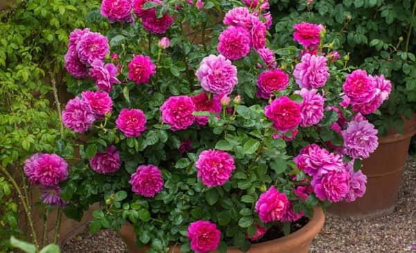 Tuyệt chiêu trồng hoa hồng trong chậu ngày tết