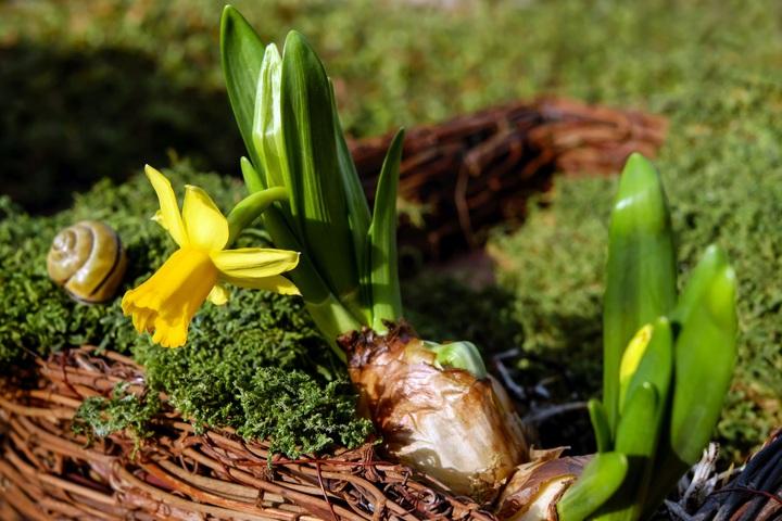 Bí kíp trồng hoa thủy tiên đơn giản ngày tết