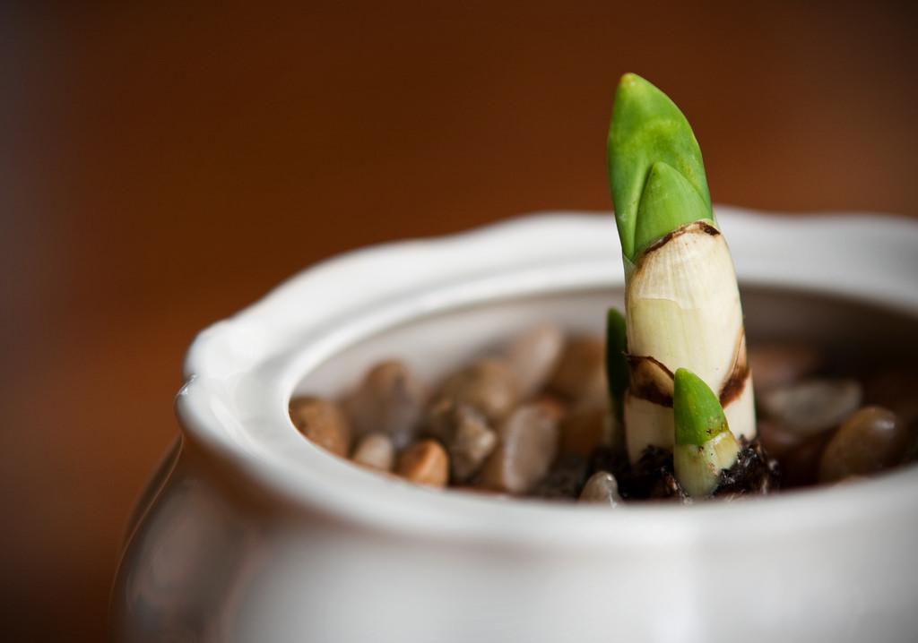 Bí kíp trồng hoa thủy tiên ngày tết