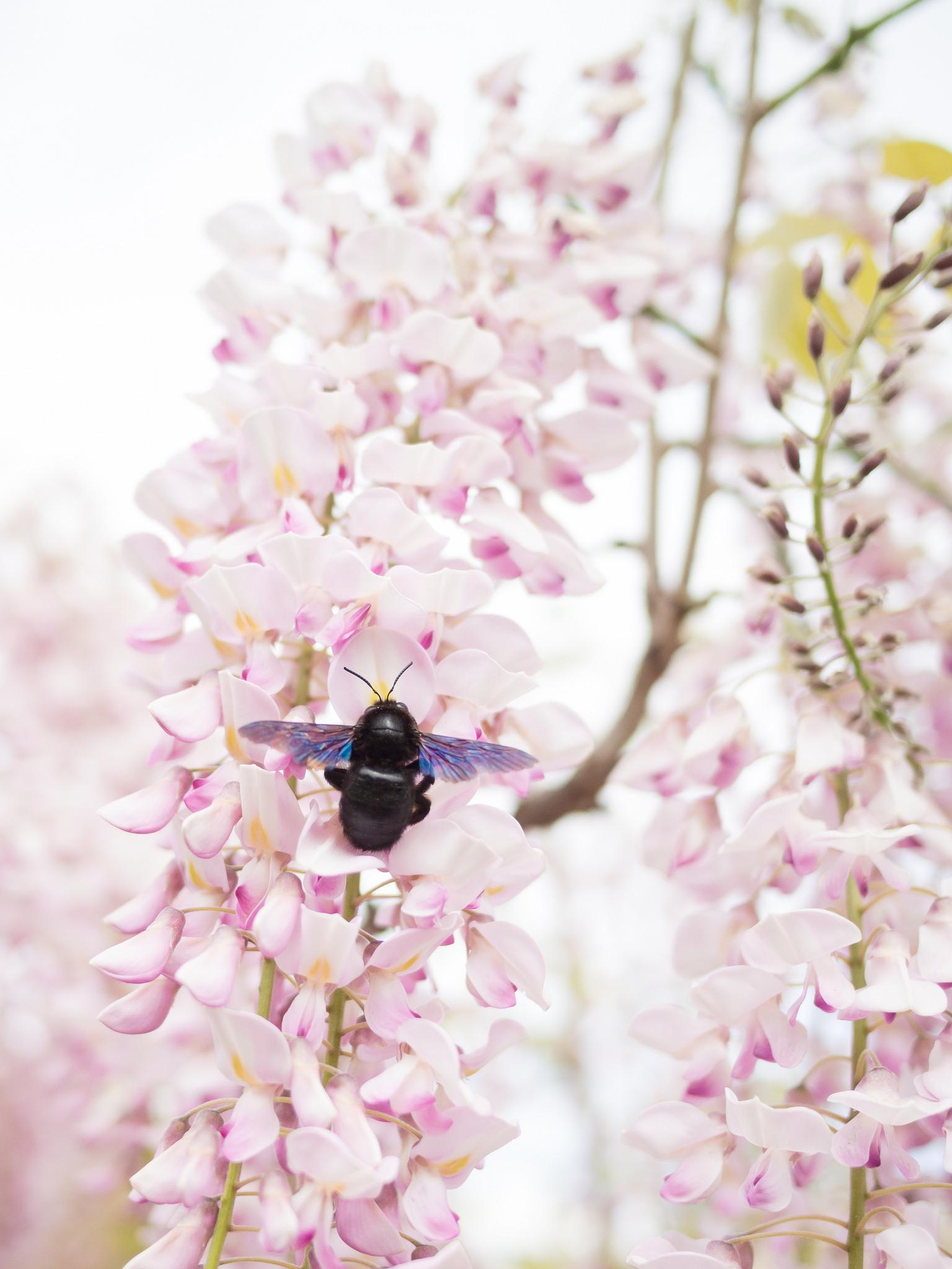 Học cách trồng hoa tử đằng đầy màu sắc