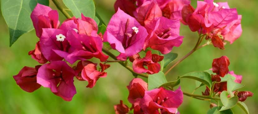 Ý nghĩa hoa giấy loài hoa của gia đình