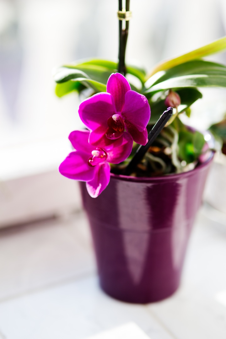 Bí kíp chăm sóc hoa lan sau tết