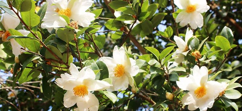 Khám phá về cây hoa sở - trà mai