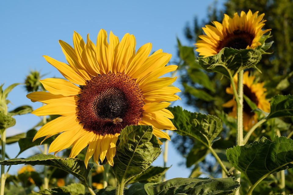 Ý nghĩa hoa hướng dương vươn lên trong ánh mặt trời