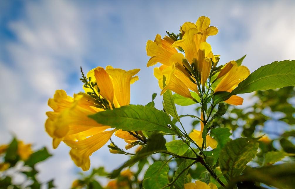Hoa chuông vàng - Tabebuia aurea