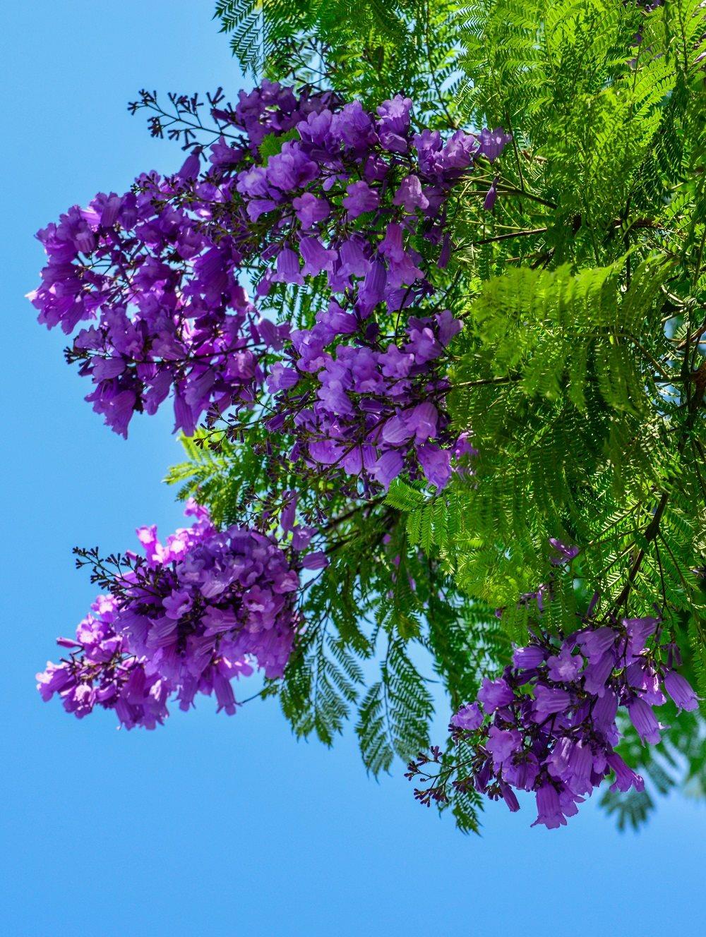 Ý nghĩa hoa phượng tím mang sắc xuân phủ khắp phố