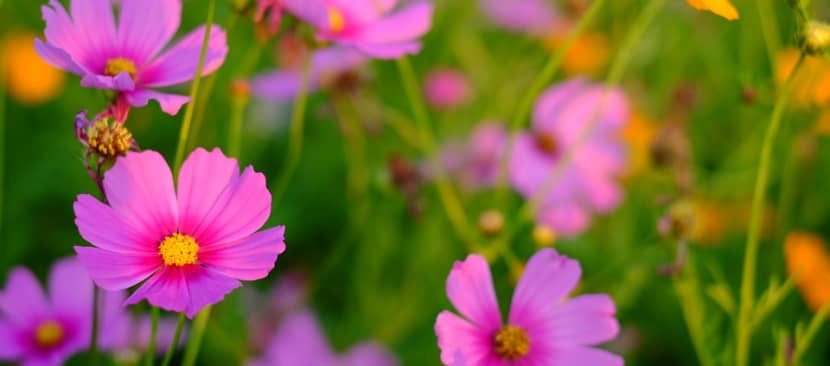 Ý nghĩa hoa cánh bướm đẹp nhẹ nhàng