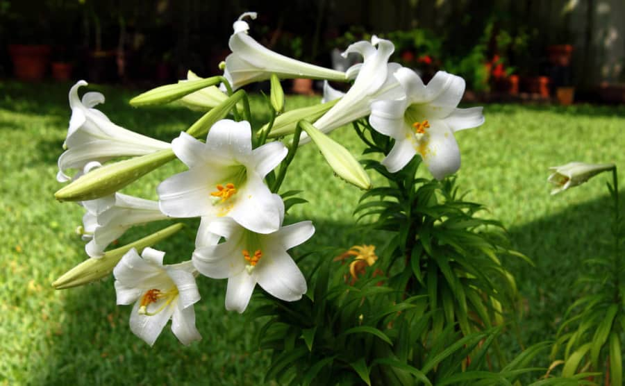 Ý nghĩa hoa loa kèn biểu tượng sự trong trắng tinh khiết