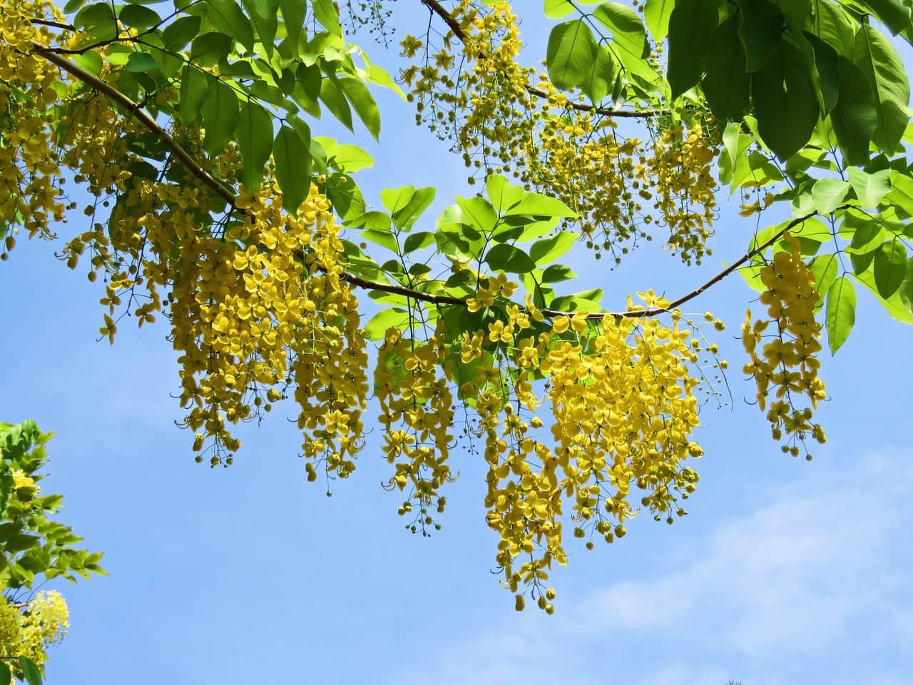 Ý nghĩa hoa bọ cạp vàng rực cả góc trời