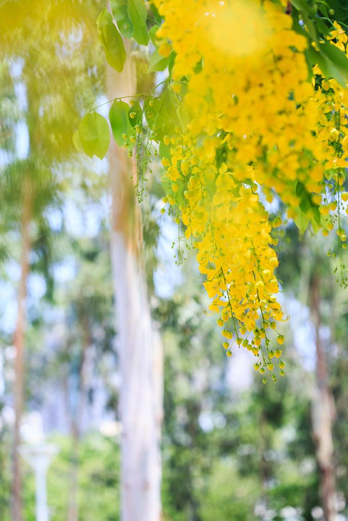 Ý nghĩa hoa muồng hoàng yến vàng rực cả góc trời