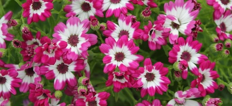 Hướng dẫn cách trồng hoa cúc lá nho mang sắc màu rực rỡ