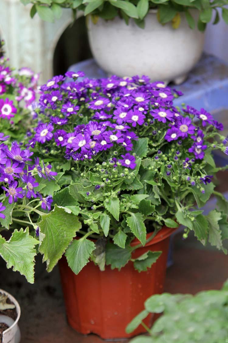 Cách trồng hoa cúc lá nho trong chậu tại nhà