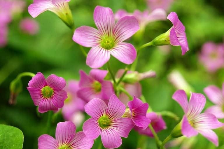 Khám phá đặc điểm Hoa chua me đất - Oxalis corymbosa