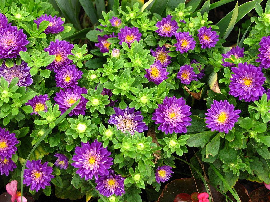 Cách trồng hoa cúc thạch thảo tím bừng sáng sân vườn