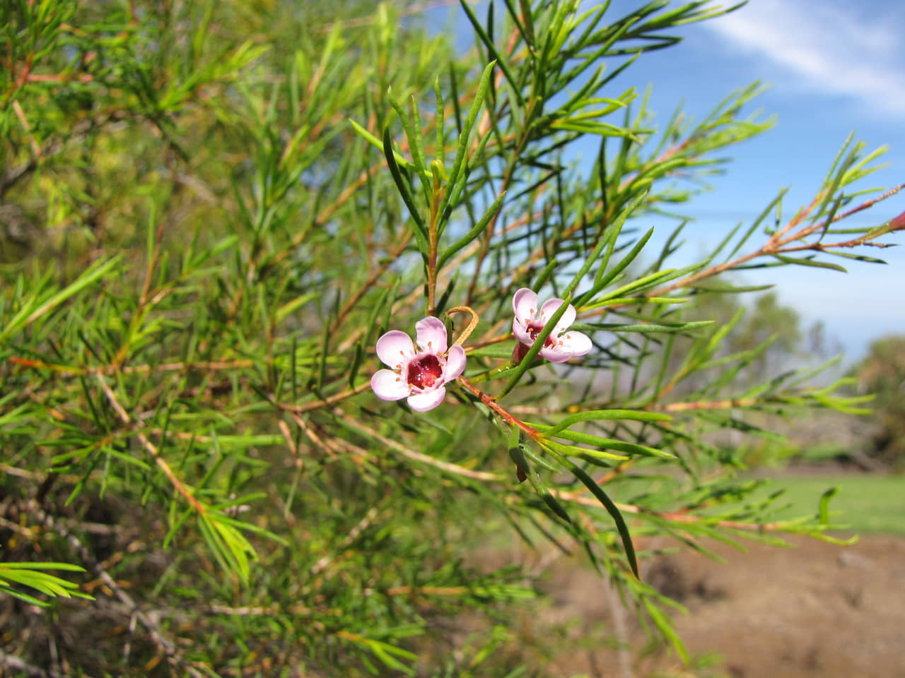 Tìm hiểu tất tần tật về hoa thanh liễu Chamelaucium;