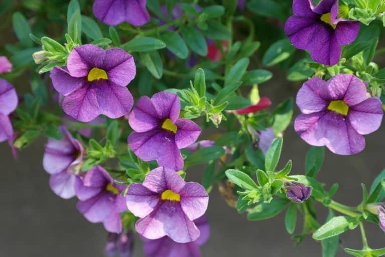 Mách bạn cách nhân giống hoa dạ yến thảo bằng cành