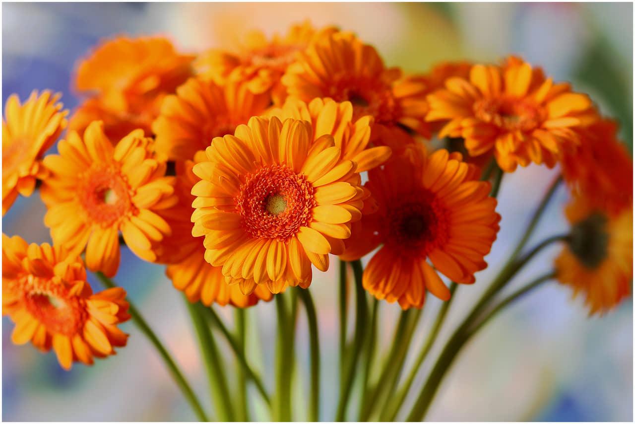 Cách trồng hoa đồng tiền đơn giản tại nhà