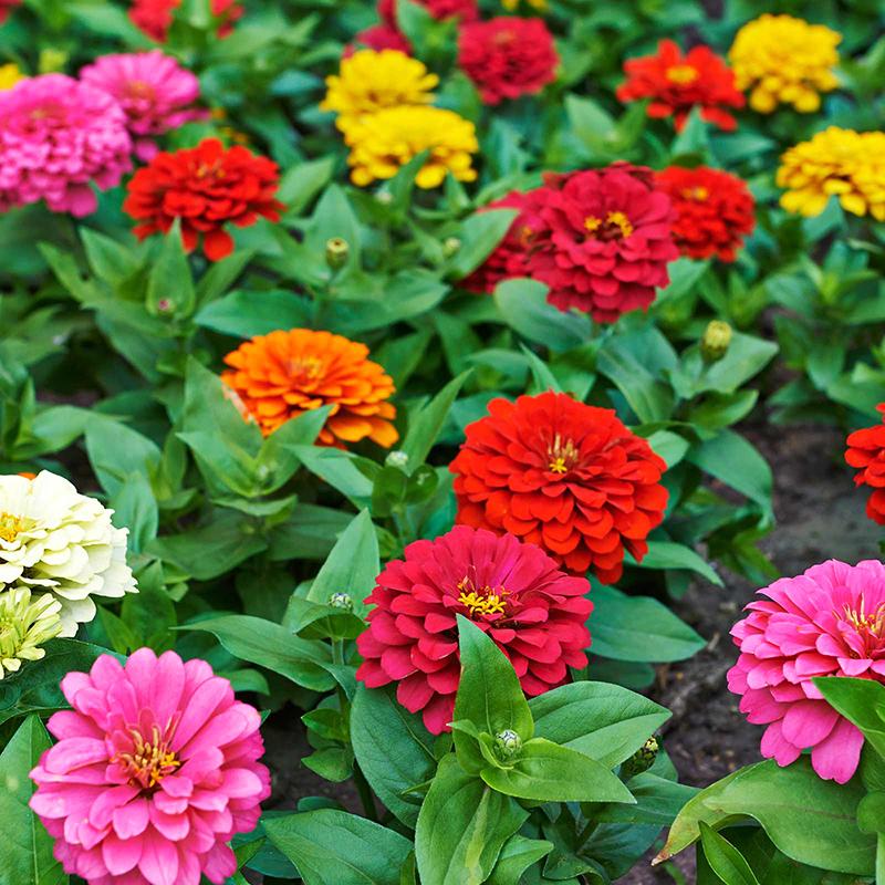 Cách trồng hoa cúc ngũ sắc làm đẹp không gian