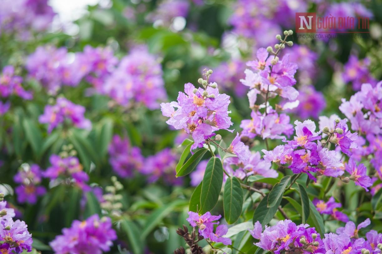 Hướng dẫn kỹ thuật trồng bằng lăng nhuộm tím sân vườn
