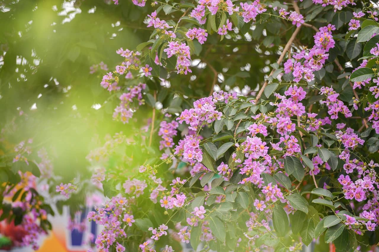 Hướng dẫn chi tiết cách trồng hoa bằng lăng tạo bóng mát