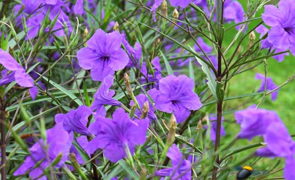 Hướng dẫn cách trồng hoa chiều tím làm đẹp không gian