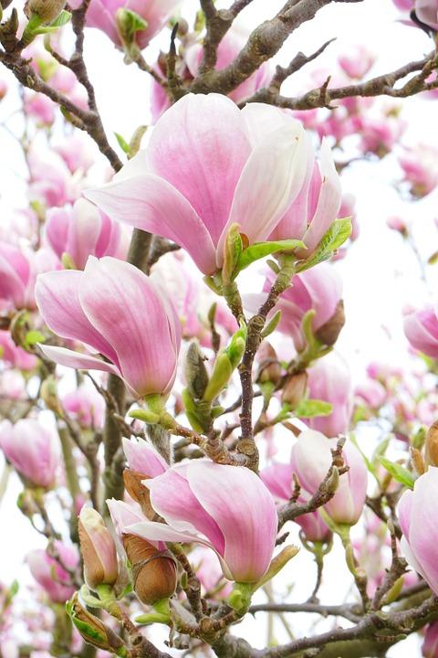 Hướng dẫn cách trồng hoa mộc lan đẹp quyến rũ