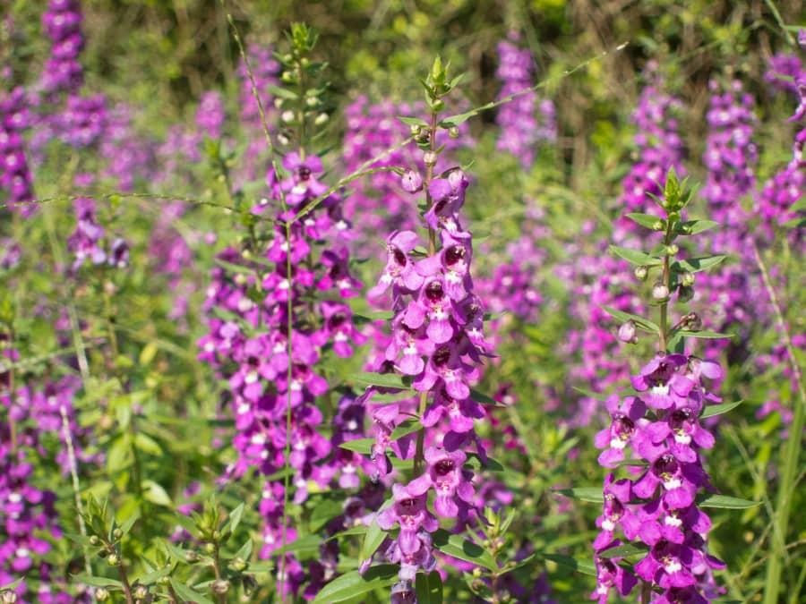 Hướng dẫn cách trồng hoa ngọc hân thơm mát cả sân vườn