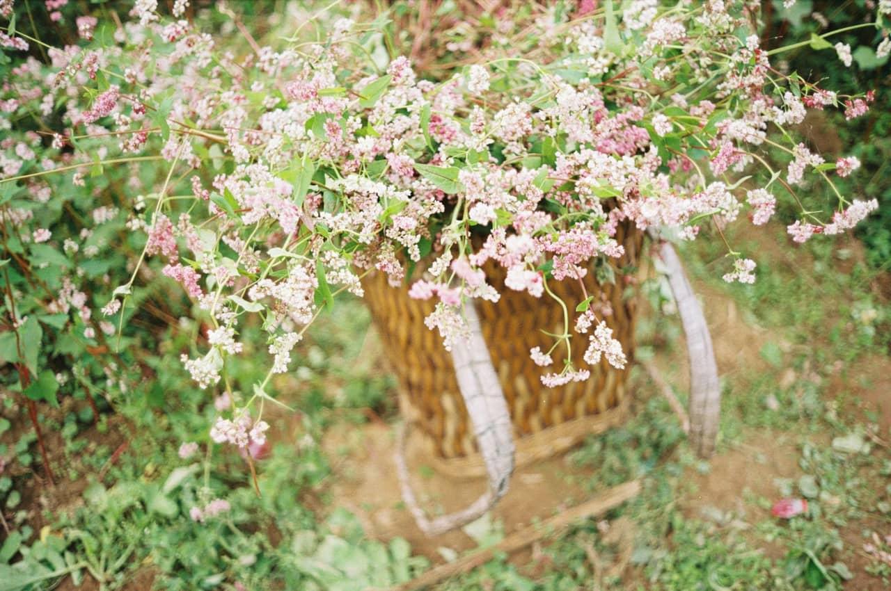Cách gieo trồng hoa tam giác mạch đơn giản tại nhà
