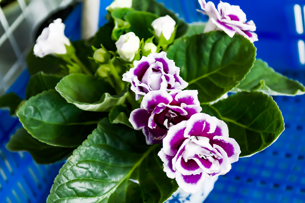 Cách trồng hoa tử la lan bừng sáng không gian vườn