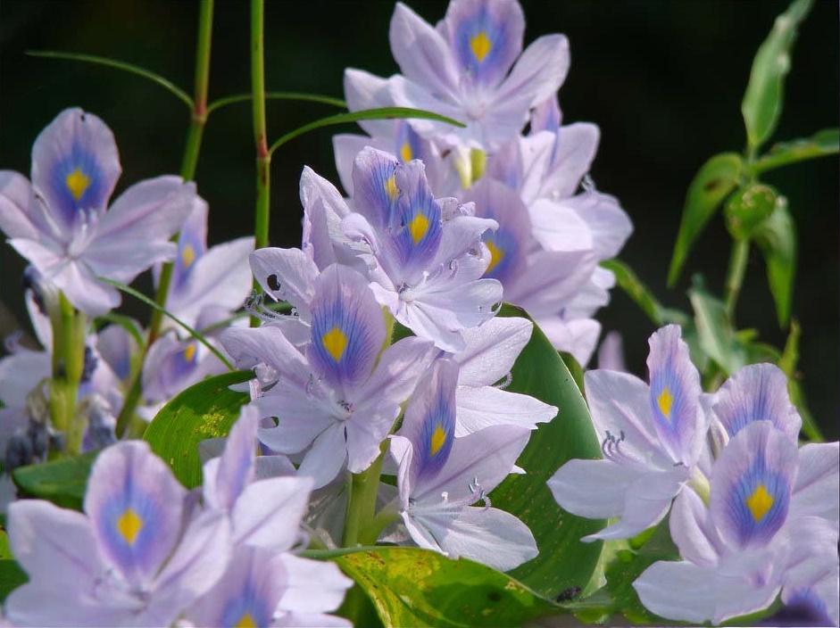 Ý nghĩa hoa lục bình trôi dạt trên sông