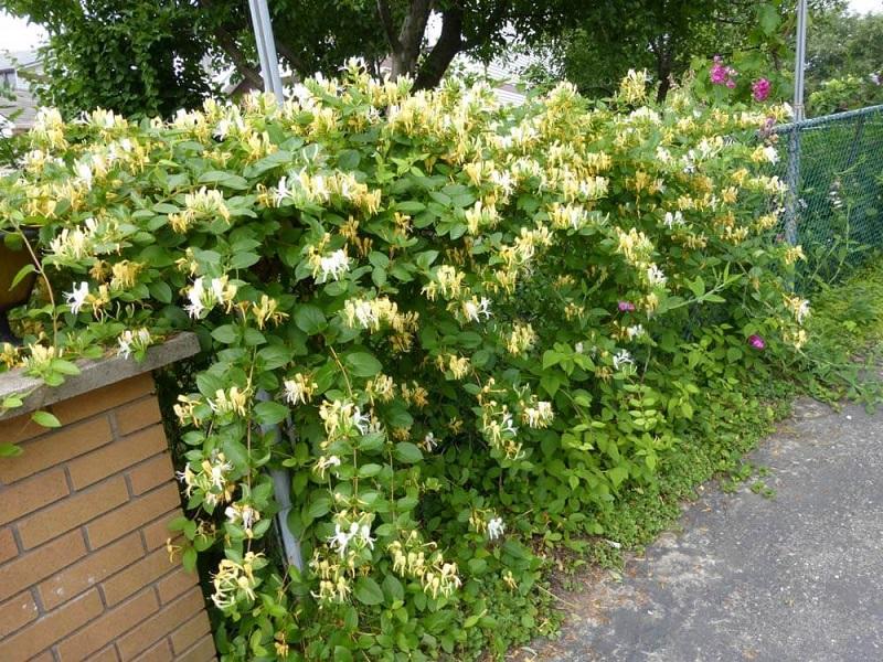 Hoa leo có hương thơm