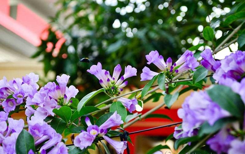 Hoa lan tỏi