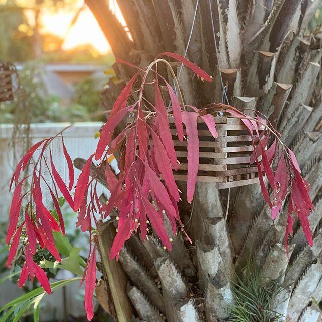 Hoa quỳnh ngọc trai-Hoa phong thủy