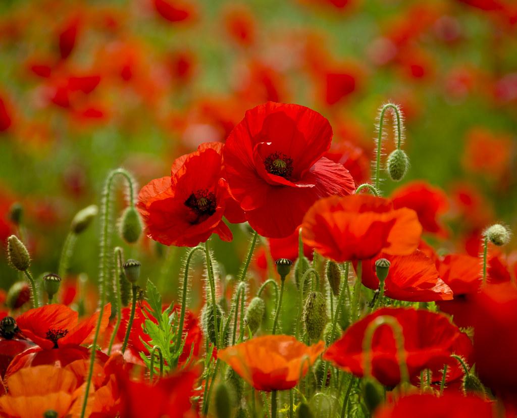 Tìm hiểu nguồn gốc và đặc điểm hoa anh túc - Poppy