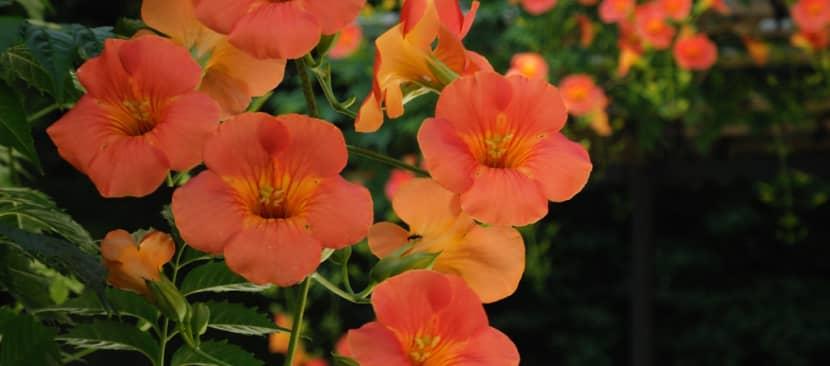 Tìm hiểu về hoa đăng tiêu - Campsis grandiflora