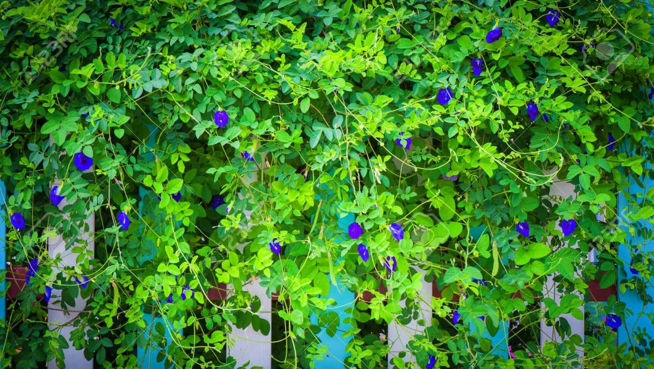 Tìm hiểu đặc điểm hoa đậu biếc Clitoria ternatea