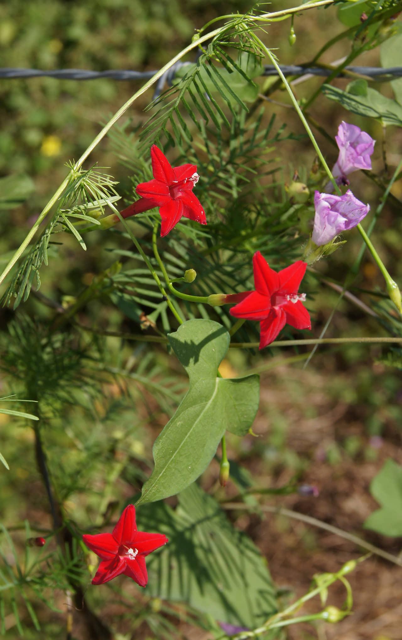 Hướng dẫn cách trồng hoa tóc tiên leo ( bìm đỏ)