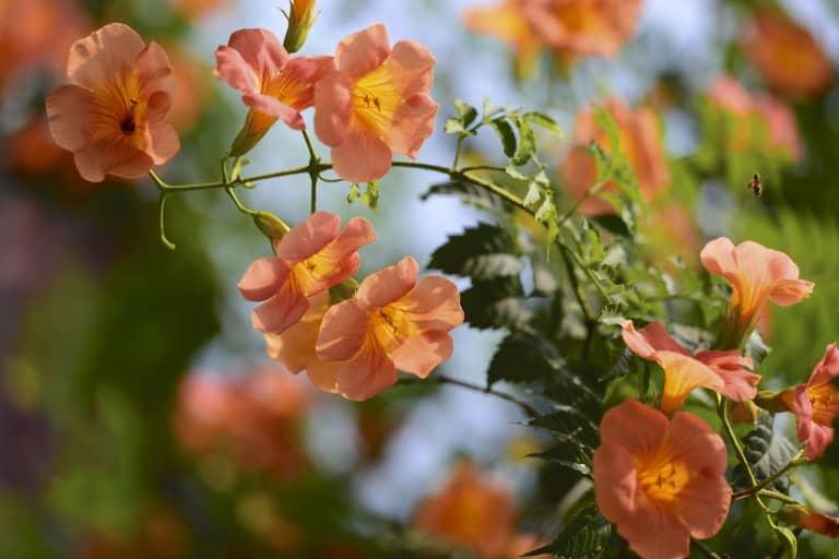 Kỹ thuật nhân giống hoa đăng tiêu bừng sáng sân vườn