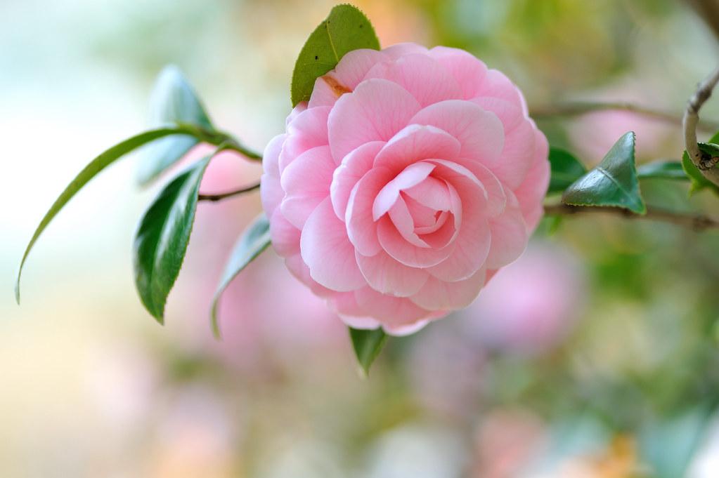 Hướng dẫn chi tiết cách nhân giống hoa trà my làm đẹp sân vườn