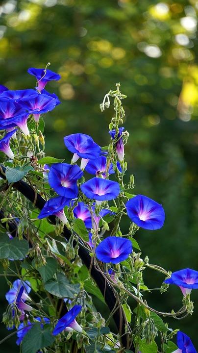Hướng dẫn cách trồng hoa bìm bìm đơn giản tại nhà