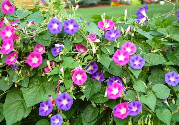 Trồng hoa bìm bìm tại nhà cho hoa đẹp nhiều màu sắc