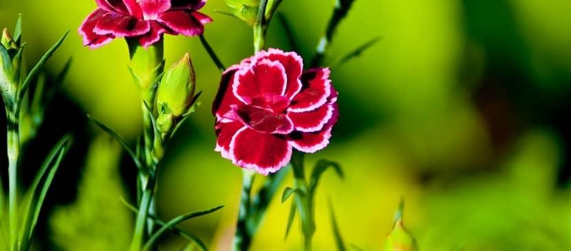 Hướng dẫn cách gieo trồng hoa cẩm chướng bằng hạt