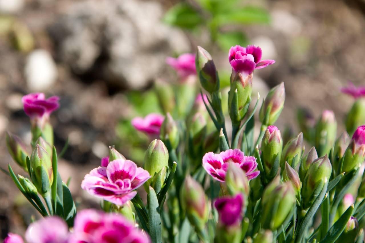 Cách gieo trồng hoa cẩm chướng ngay tại nhà phố