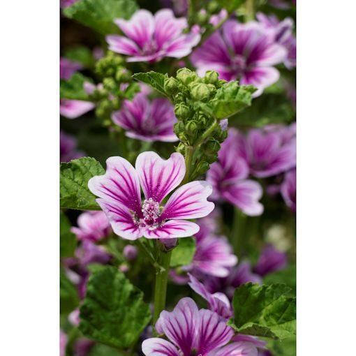 Chi tiết các bước trồng hoa cẩm quỳ ngay tại nhà